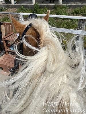 美しい馬のたてがみ