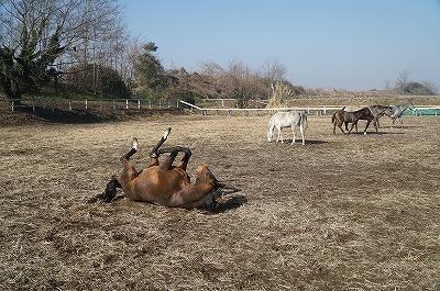 馬の砂浴びは健康のために