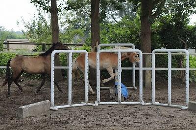 放牧中に自分で障害を飛んで遊ぶ馬ロイ