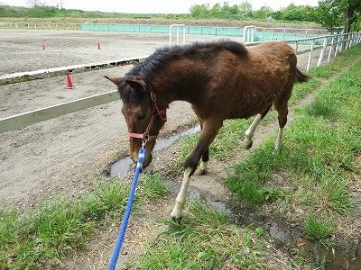 新馬調教 馬が歩かないときは引っ張らない
