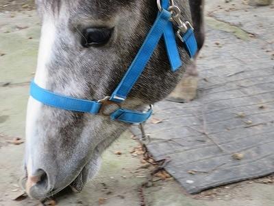 イベリコ馬