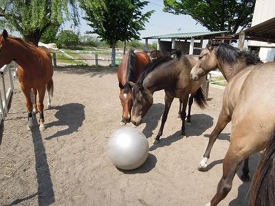 放牧中の馬たちとバランスボールで遊んでみました