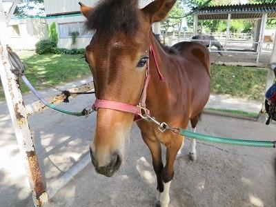 新馬調教 馬の体調管理