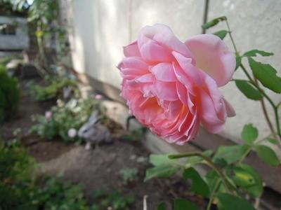 夏空と乗馬クラブのバラ