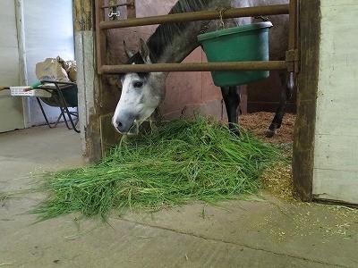 青々した牧草を食べる馬達