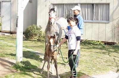 仔馬と一緒にお散歩しよう!