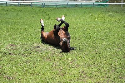 馬は大好き、気持ちいい砂浴び