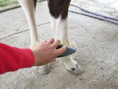 新馬調教 肢にもブラシかけしよう!