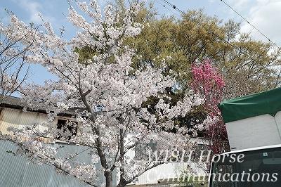 植えてから10年目くらい?の桜