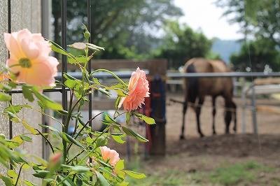 馬とバラの花