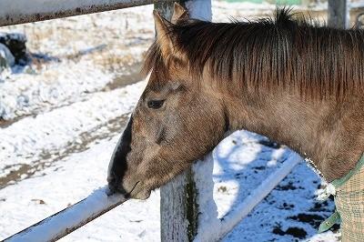 雪を味見する馬