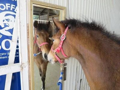 新馬調教 リーディング引き馬はすべての基本