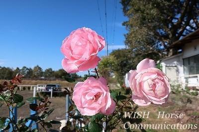 薔薇の咲く乗馬クラブ