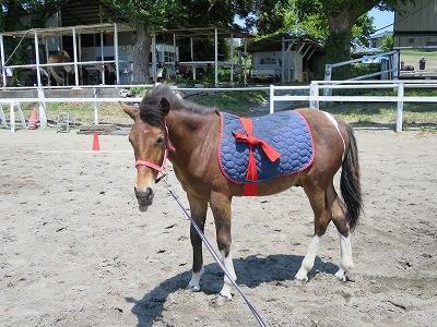 新馬調教 いよいよゼッケン