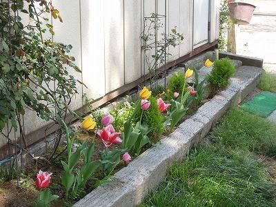 乗馬クラブ花壇のチューリップ