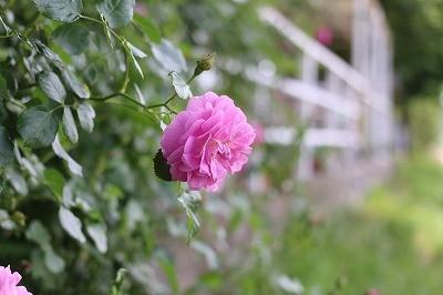 乗馬クラブのきれいなバラ