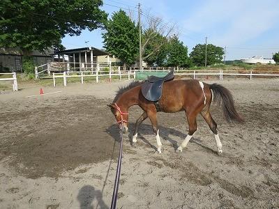 新馬調教 初めて鞍を乗せる