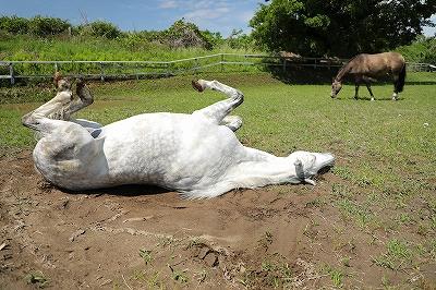 馬は砂浴びが大好き