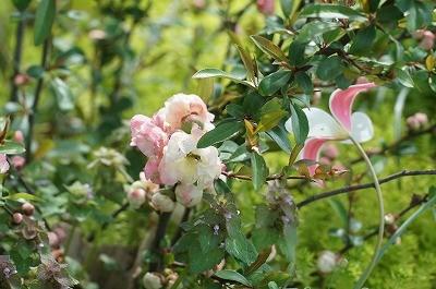 愛らしいボケの花