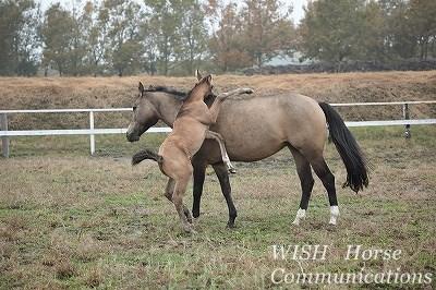 お母さんに甘える子馬