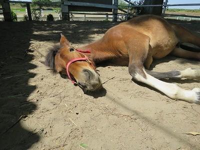 新馬調教 馬にはたくさん休養が必要
