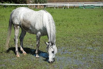カマルグの馬?