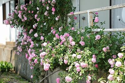 バラが咲く乗馬クラブ