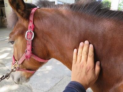 新馬調教 馬の触り心地