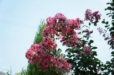 乗馬クラブの花