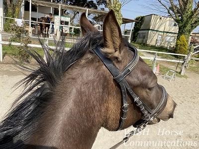 乗馬の鞍付け調教