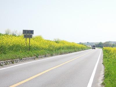利根川土手の菜の花