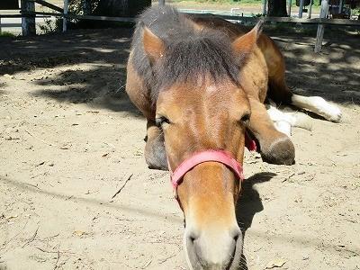 新馬調教 馬に安心をあたえる