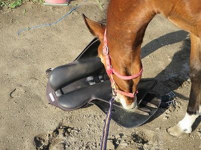新馬調教 馬に確認してもらう