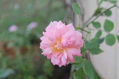 乗馬クラブで咲いたバラ