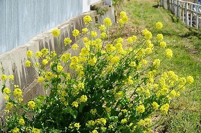 乗馬クラブの菜の花