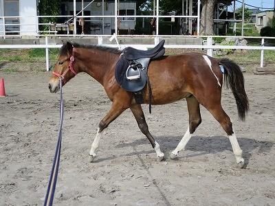 新馬調教 初めての鐙付き