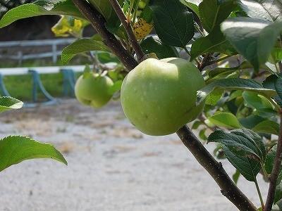 乗馬クラブのリンゴが実りました