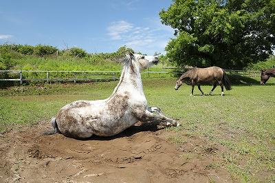 馬は砂浴びが大好き!