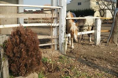 乗馬クラブの花の木