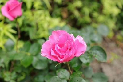 乗馬クラブの薔薇