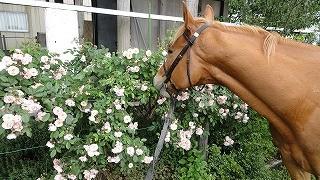 きれいに咲いたバラと馬