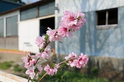ウィッシュの駐車場の桃の花