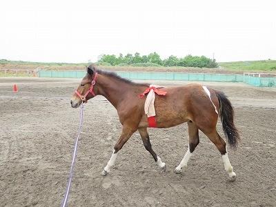 新馬調教 腹帯とひらひら
