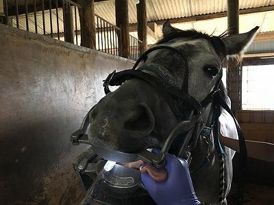 馬の歯科検診