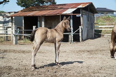 乗用馬の自家生産