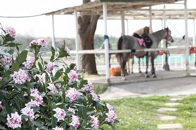 乗馬クラブウィッシュの沈丁花