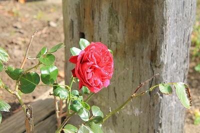 乗馬クラブの綺麗なバラ