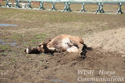 馬の幸せの砂浴び