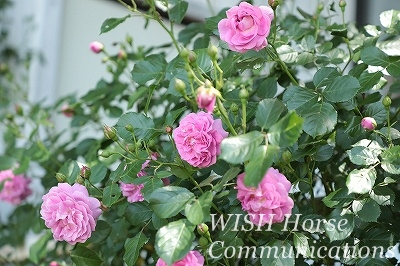 乗馬クラブのバラ