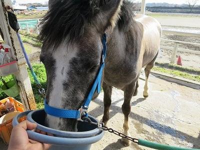 美味しそうに水を飲む馬